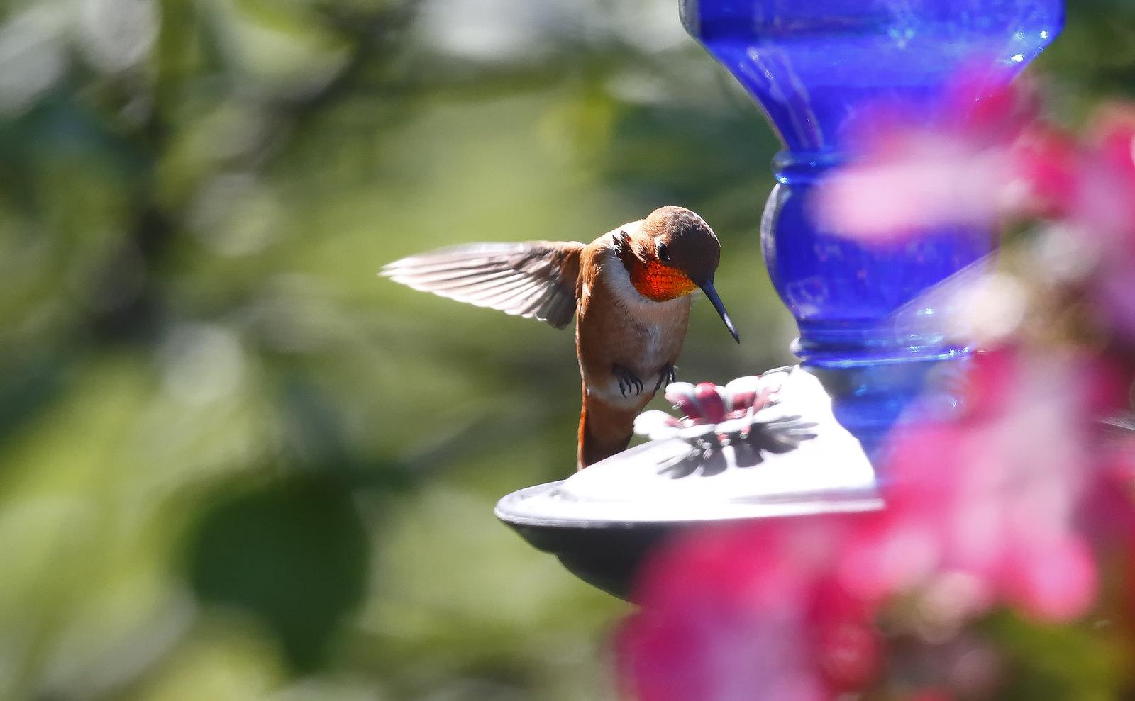 Rufous Hummingbird, Alaska