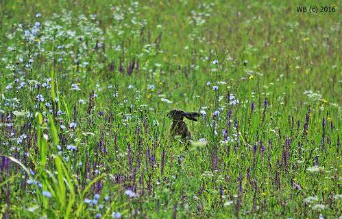 mezei nyúl lepus europaeus feldhase european hare zomba tolna field flowers mammal animal plant flora fauna outdoor nature hidden