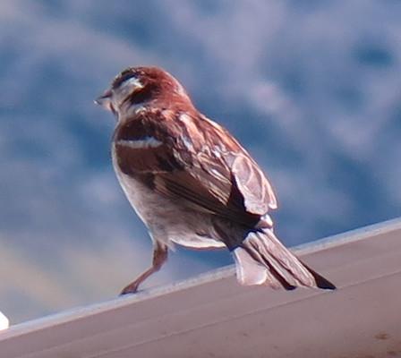 Italian x House Sparrow hybrid (male); 20160826; IT-BZ-Kurzras