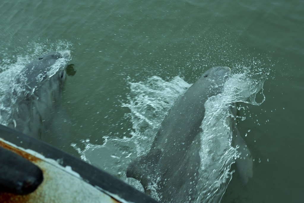 Charleston two dolphin playing at the front of the ferry boat