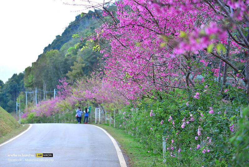 Chiang mai Khunwang Doi Inthanon sakura trees roadside