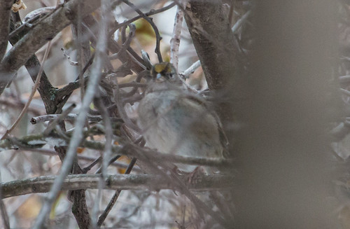 Duluth Golden-crowned Sparrow