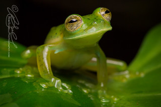 Emerald Glass Frog (Espadarana prosoblepon)