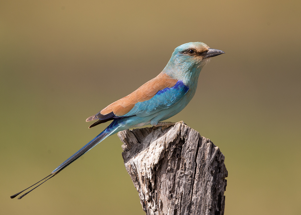 Abyssinian Roller   Gambia