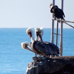 4-headed #pelican? #santacruz