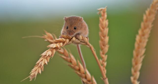Cute little harvest mouse
