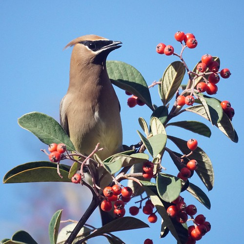 Sunday midday Waxwings