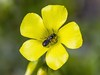 Oxalis pes-caprae (Oxalidaceae) w/insect by kaeagles