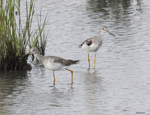 """Greater Yellowlegs"" ""Tringa melanoleuca"""