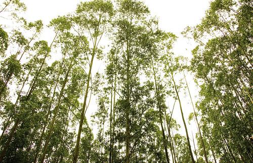 Gigantic cinnamon trees in Munnar