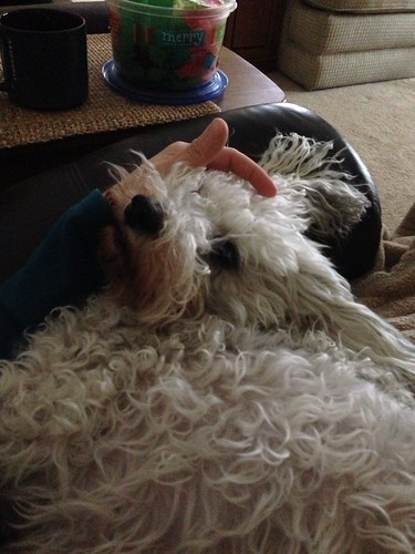Schnoodle snuggles