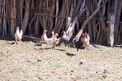 화, 01/20/2015 - 05:02 - Species name: Chicken (photo credit: ILRI).