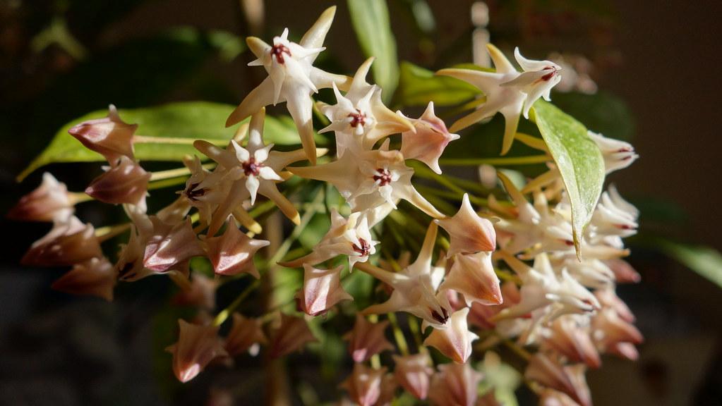 Hoya multiflora 'Milky Way' 16362715622_477156379d_b