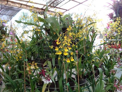 Orquideas miniaturas de venezuela for Cuidado de las orquideas moradas