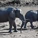River Giants - African Elephants
