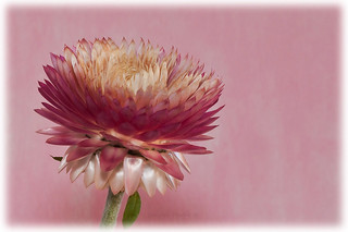 Pink Strawflower Macro