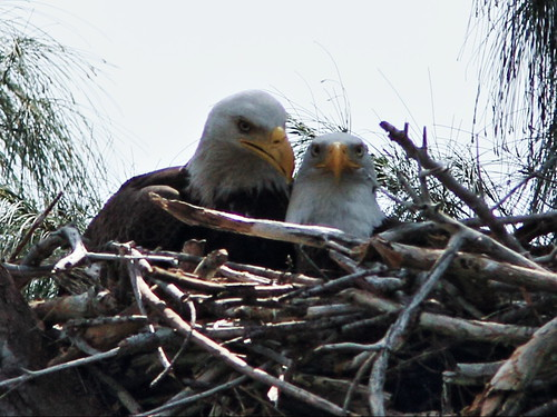 Bald Eagle pair on nest 2-20150316