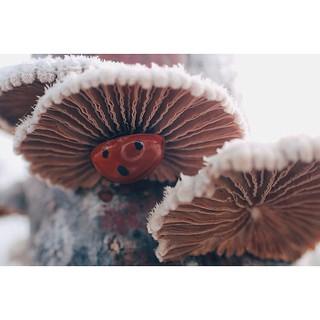 Schizophyllum commune with visitor❤️