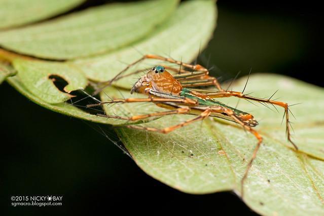 Lynx spider (Hamadruas) - DSC_4324