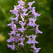 small purple fringed, platanthera psycodes by ats8110