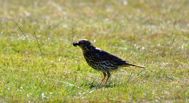 Thrush (45) with loads of ants to feed there young