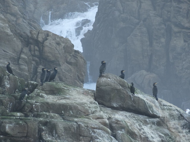 Cormoranes en Laxe