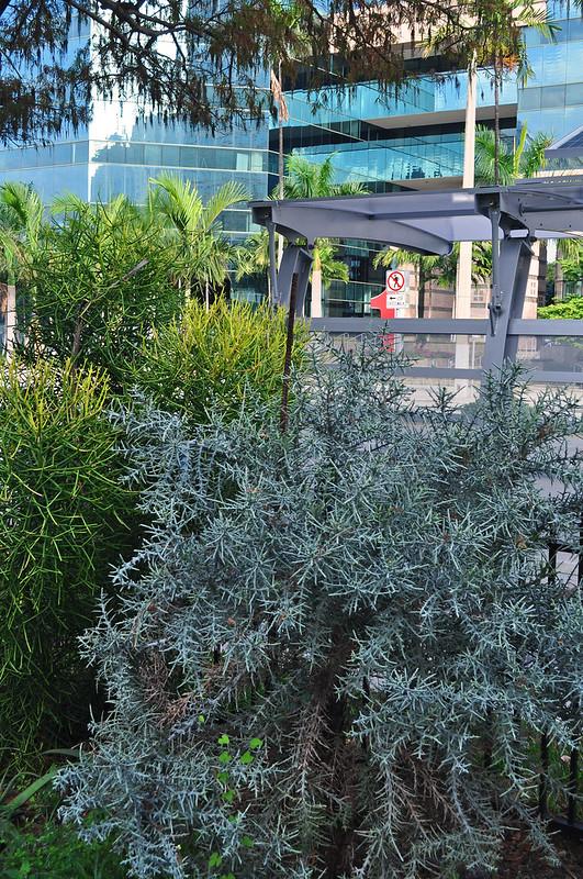 Euphorbia stenoclada (Silver Thicket)