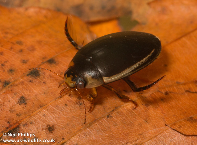Hydaticus seminiger diving beetle