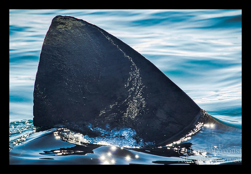Basking shark fin close-up