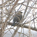 johnkivikoski has added a photo to the pool:Rusty Blackbird seen 1/21/15 at around 14:30 in Iowa County along Lower Wyoming Road.