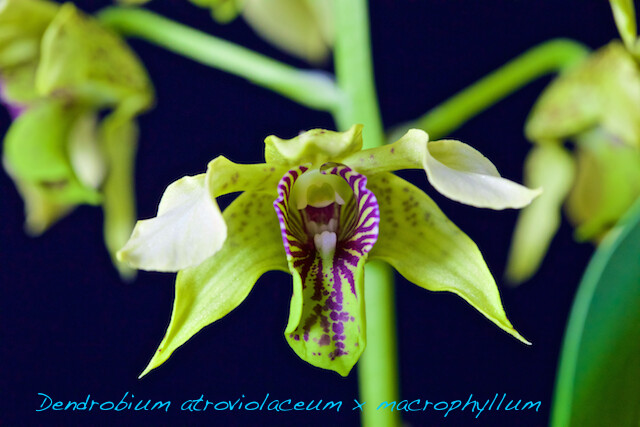 Dendrobium atroviolaceum x macrophyllum 16367981306_63da2338e6_z