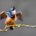 Kingfisher shake by alanrharris53
