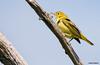 Yellow Warbler, female
