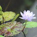 Tropical Day Blooming Waterlily by Ebroh