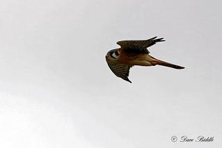 Little Falcon
