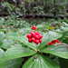 Bunchberries by jschumacher