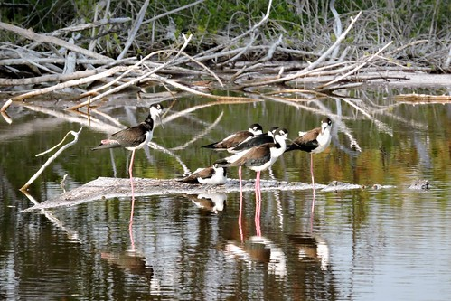 Black-necked Stilts #44 Life #121
