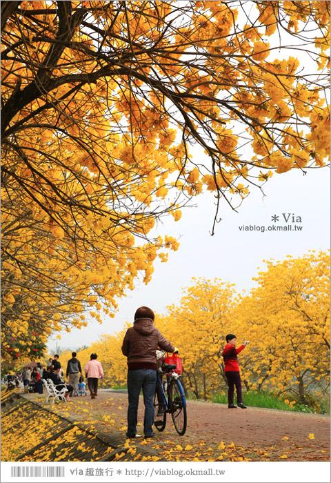 【嘉義景點】嘉義軍輝橋黃金風鈴木~全台最美的堤防!開滿滿的風鈴木美炸了!3
