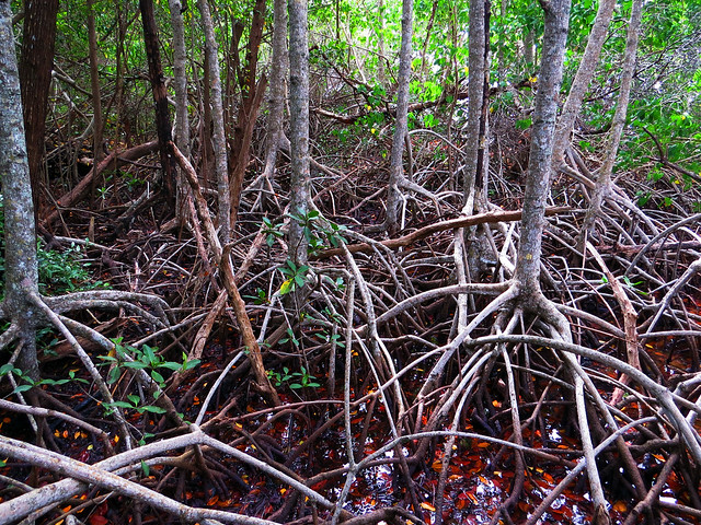Mangroves at Gumbo Limbo