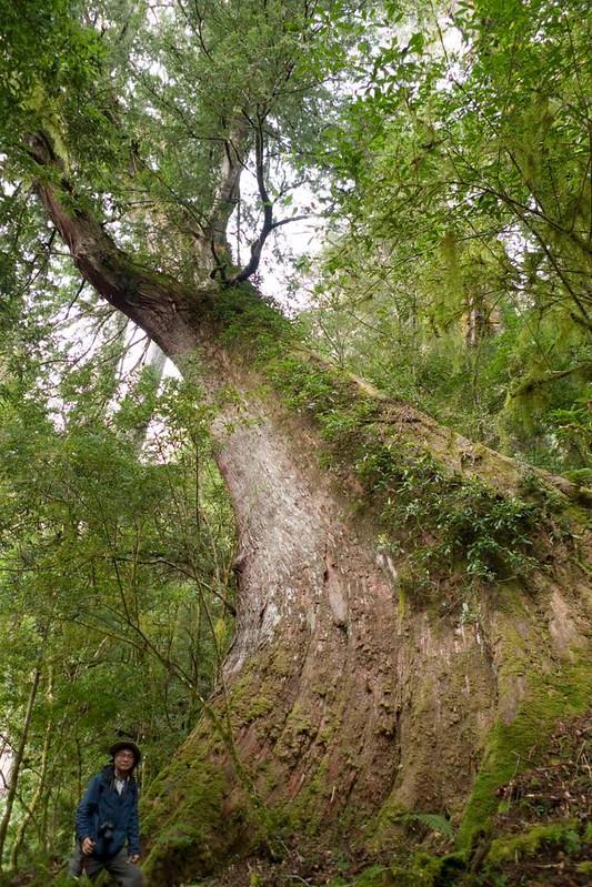 以台灣當屬名的 台灣杉