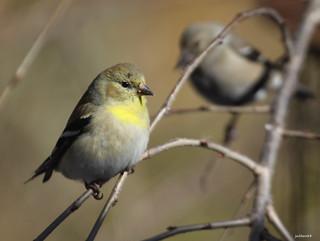 """American Goldfinch"" ""Carduelis tristis"""