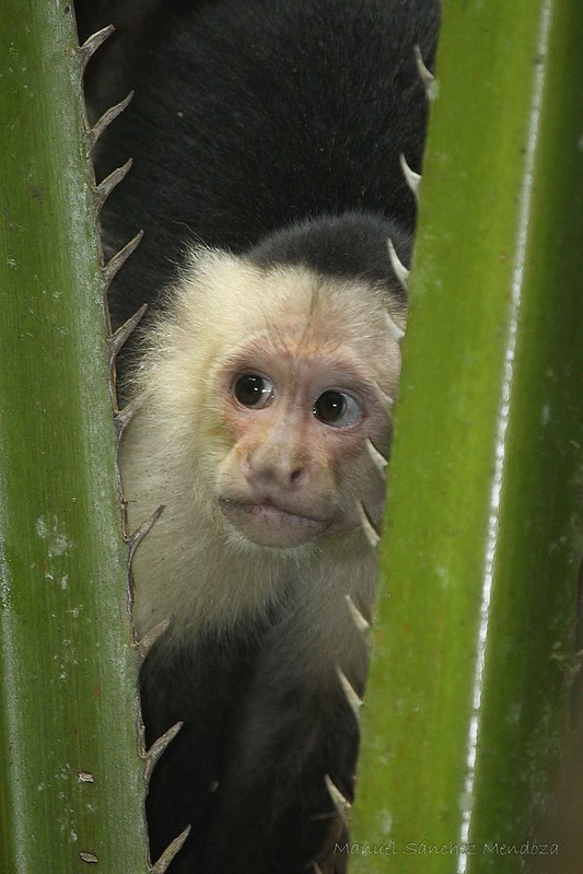 Osa Peninsula - Monkeys