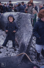 Hump-backed whales one and a half days after stranding on to Aberthaw, October 1982
