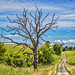 Lifeless Oak Along A Country Road by myoldpostcards