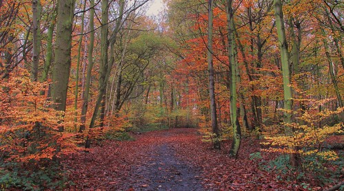 autumn trees colours doncaster beeches southyorks sandallbeatwoods