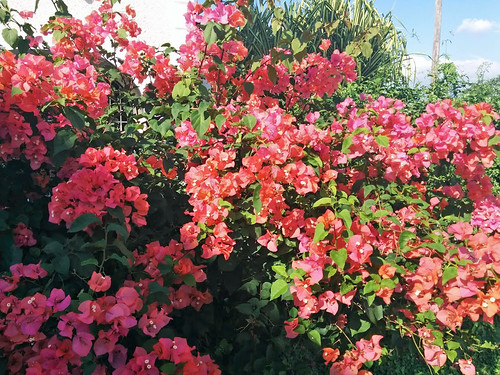 Bougainvillea in bloom, St. Andrew, Jamaica