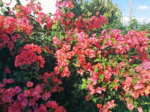 Bougainvillea in bloom, St. Andrew, Jamaica