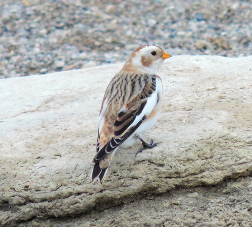Canada Goose Baby Snow Bunting plata