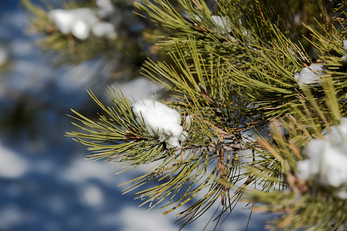 snow newmexico pinetree pine nationalforest taos carsonnationalforest