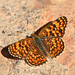 Melitaea phoebe - Photo (c) bathyporeia, algunos derechos reservados (CC BY-NC-ND)